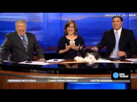Funny Bunnies Mate On Live News