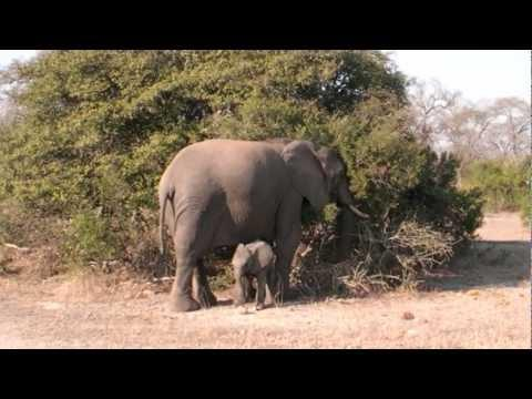 Cute - Baby Elephant Runs To Daddy