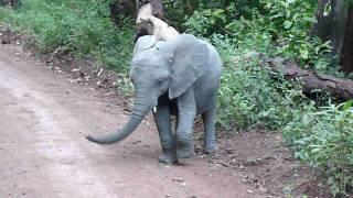 Baby Elephant Shows Off Dance Skills
