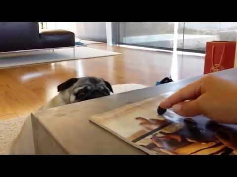 Pug Vs Blueberry