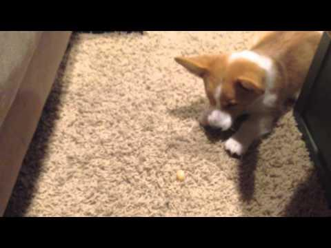 Corgi Puppy Playing With The Candy