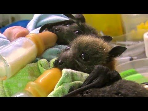 Cute - Bottle Feeding The Baby Bats