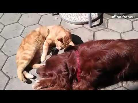 Dogs Trying Hard To Impress The Cats