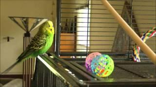 Adorable Talking Parakeet