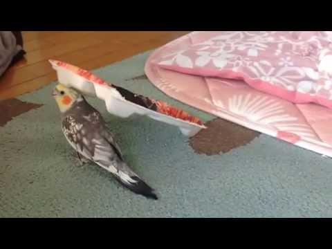 Parakeet Singing If You're Happy And You Know It Song