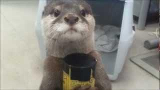 Otter Gets The Drink From Vending Machine