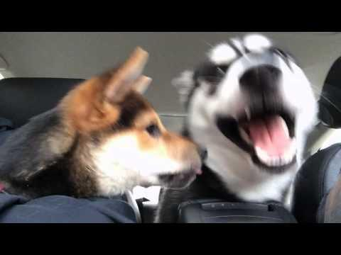 Husky Dog Gets Annoyed By Puppy