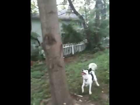 Awesome - Dog Climbs The Tree To Get Frisbee