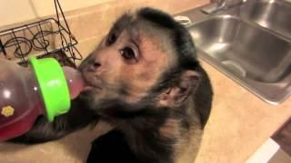 Monkey Gets Brain Freeze From Drinking Juice