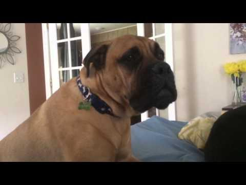 Dog Asks For Help To Get On The Bed