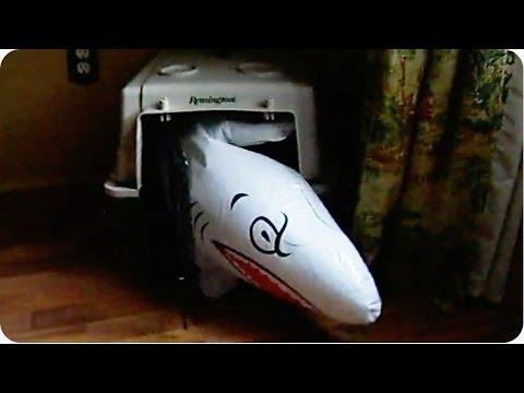 Dachshund Dog Takes The Inflatable Shark Inside The Crate