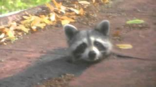What's Up Baby Raccoon