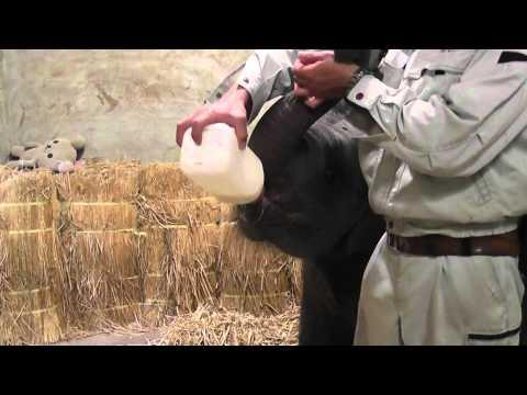 Cute - Bottle Feeding A Elephant Calf