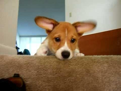 Cute - Sad Corgi Puppy